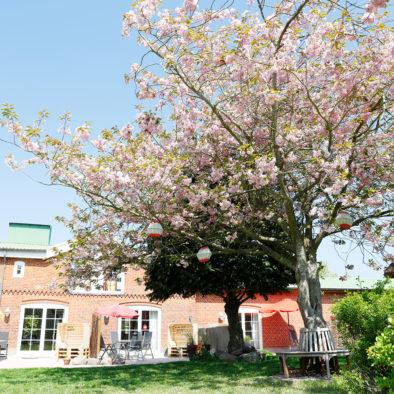 Gartenwiese und Kirschbaum